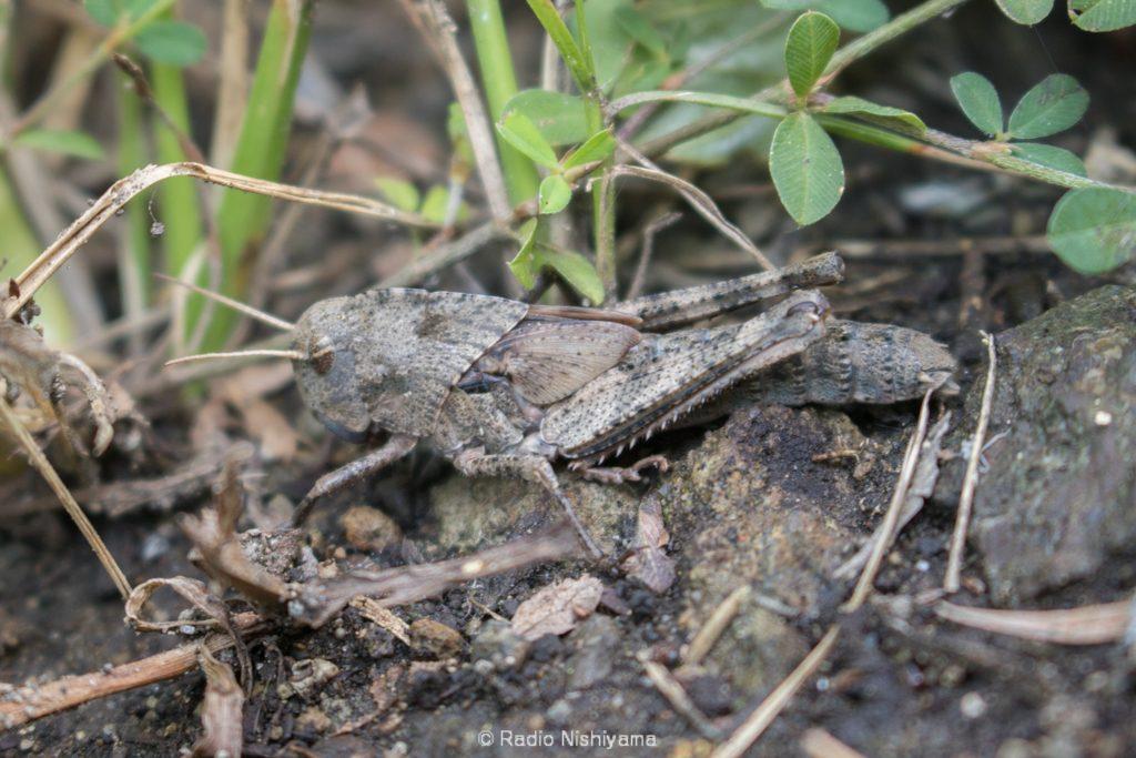 トノサマバッタの終齢幼虫